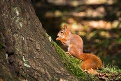 La pequeña ardilla se sienta en el bosque Imagenes de archivo
