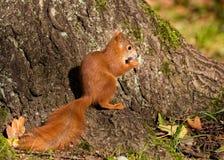 La pequeña ardilla se sienta en el bosque Fotos de archivo