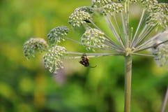 La pequeña avispa en la flor blanca Fondo verde con colores agradables Imágenes de archivo libres de regalías
