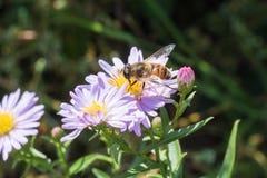 La pequeña avispa que se sienta en una flor Fotos de archivo