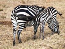 La pequeña cebra del bebé está sobre madres y chupa la leche en el fondo del campo con la hierba en el Massai Mara National Park imagen de archivo libre de regalías