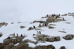 La pequeña colonia de pingüinos de Gentoo en las rocas del antártico es Fotos de archivo libres de regalías