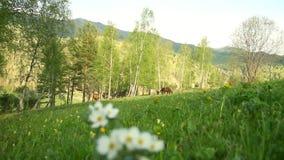 La pequeña flor blanca crece en un prado La flor crece contra la perspectiva de los caballos pastados rododendro almacen de video