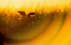 La pequeña gaviota (minutus del Larus) en vuelo en fondo natural de la puesta del sol Imágenes de archivo libres de regalías