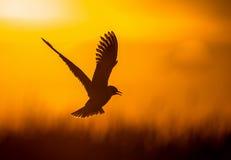 La pequeña gaviota (minutus del Larus) en vuelo en fondo natural de la puesta del sol Imagen de archivo libre de regalías