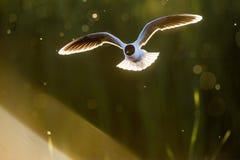 La pequeña gaviota (minutus del Larus) en vuelo en fondo natural de la puesta del sol Fotografía de archivo libre de regalías