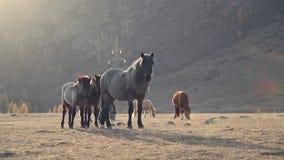 La pequeña manada de los caballos pasta en área pintoresca rodeada por las montañas almacen de metraje de vídeo