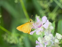 La pequeña mariposa amarilla chupa el néctar de una flor de la zarzamora imagen de archivo libre de regalías
