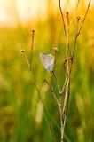 La pequeña mariposa azul en una rama muerta en la hierba Fotografía de archivo