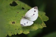 La pequeña mariposa blanca (rapae del Pieris) Fotografía de archivo libre de regalías