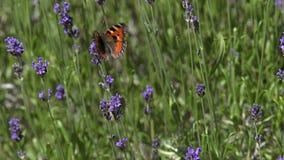 La pequeña mariposa de concha, urticae de los aglais, chupando el néctar de Laverder florece, Normandía, metrajes