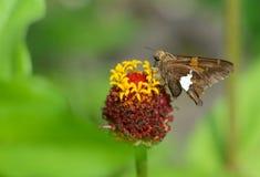 La pequeña mariposa Plata-manchada del capitán alimenta en una cabeza de flor Fotos de archivo libres de regalías