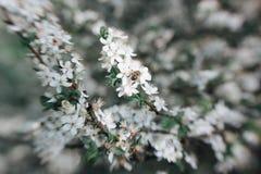 La pequeña mosca de abeja asombrosa cerca del árbol frutal florece Fotografía de archivo libre de regalías