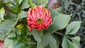 La pequeña nueva flor del kli del kacchi se cerró y alista completamente para crecer imagen de archivo
