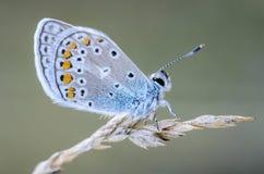 La pequeña paloma de la mariposa se sienta en una espiguilla seca de la hierba Imágenes de archivo libres de regalías