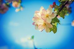 La pequeña rama con el manzano blanco rojo florece fotos de archivo