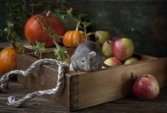 La pequeña rata gris linda del dumbo se sienta en la caja de madera con las manzanas y las calabazas frescas Todavía composición