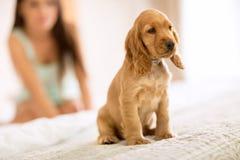 La pequeña raza de cocker spaniel del perrito se sienta en cama de las muchachas fotografía de archivo