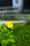 La pequeña rosa del amarillo en jardín en verde empañó el fondo Foto de archivo