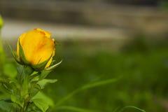 La pequeña rosa del amarillo en jardín en verde empañó el fondo Imagen de archivo libre de regalías