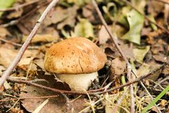 La pequeña seta comestible está creciendo en el bosque del otoño fotos de archivo libres de regalías