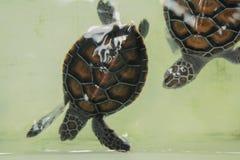 La pequeña tortuga de mar del bebé está nadando en un tanque de la protección de la tortuga Foto de archivo