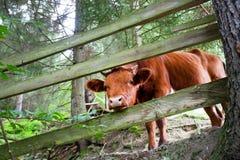 La pequeña vaca mira de una cerca de madera en el bosque Imágenes de archivo libres de regalías