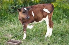 La pequeña vaca se está colocando en la hierba verde Foto de archivo