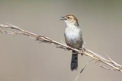 La pequeña sentada marrón del cisticola y canta en un tronco de la hierba Imagen de archivo libre de regalías