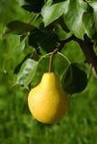 La pera amarilla madura imágenes de archivo libres de regalías