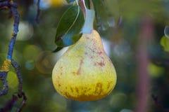La pera amarilla madura en una rama y el sol se deslumbran en el centro Jardín agrario admitido foto de la fruta imagenes de archivo