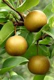 La pera asiática da fruto (el pyrifolia del Pyrus) Foto de archivo