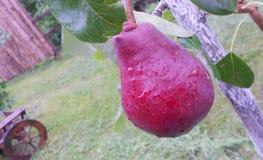 La pera de Borgoña con lluvia cae en el árbol Fotos de archivo libres de regalías