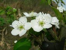La pera fiorisce l'apertura in primavera immagini stock