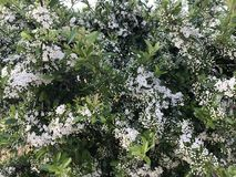 La pera fiorisce in primavera il periodo fotografia stock libera da diritti