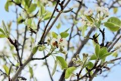 La pera florece el flor Foto de archivo libre de regalías