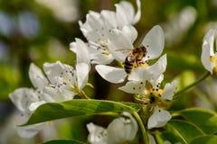 la pera florece las floraciones del manzano El resorte vino fotografía de archivo