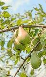 La pera rossa e gialla fruttifica nell'albero, in specie dell'arbusto e dell'albero di genere il Pyrus, rosacee Fotografie Stock Libere da Diritti
