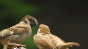 La perca del montanus de Philippine Maya Bird Eurasian Tree Sparrows o del transeúnte en las ramitas articula la alimentación almacen de metraje de vídeo