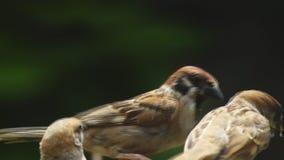 La perca del montanus de Philippine Maya Bird Eurasian Tree Sparrows o del transeúnte en las ramitas articula la alimentación almacen de video