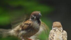 La perca del montanus de Philippine Maya Bird Eurasian Tree Sparrows o del transeúnte en las ramitas articula la alimentación metrajes
