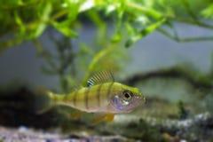 La perca europea, pescado despredador del coldwater, fluviatilis del Perca, examina el acuario moderado del biotopo del río de l imágenes de archivo libres de regalías