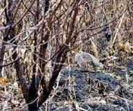 La perdiz gris que se sentaba en el topetón craned su cuello imagen de archivo libre de regalías