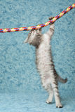 La Perm kitten hanging from rope. La Perm kitten hanging from colorful rope, on blue background Stock Image