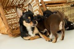 La perra alimenta perritos de la chihuahua Fotografía de archivo libre de regalías