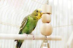 La perruche se repose dans la cage Images stock