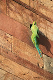 La perruche se repose sur un mur dans la ruine chez Qutb minar à New Delhi (l'Inde) Photo stock