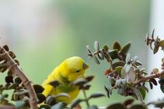 La perruche se repose sur une branche Le perroquet est brillamment de couleur citron Le perroquet d'oiseau est un animal familier photos stock