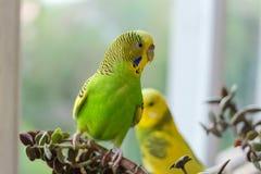 La perruche se repose sur une branche Le perroquet est brillamment de couleur citron Le perroquet d'oiseau est un animal familier image libre de droits