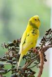 La perruche se repose sur une branche Le perroquet est brillamment de couleur verte Le perroquet d'oiseau est un animal familier  photographie stock